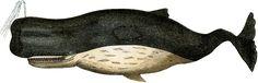 Vintage Sperm Whale Image