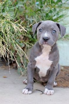 blue nose pitbull pup