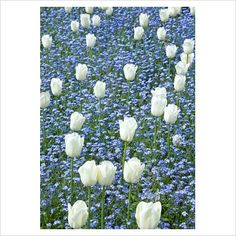 forget-me-nots/ tulips   -gap photos