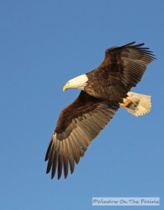 Watch BALD EAGLES soaring overhead. It's the return of our National Symbol.