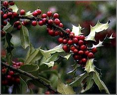Holly- Ruled by the moon and sacred to the Celts, this herb was brought into the home during midwinter. It was thought holly would give the faeries safe refuge during the cold times. Many people (in the northern hemisphere) still decorate their homes in holly during midwinter today.