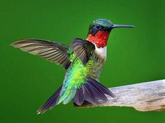 Ruby Throated Humming Bird, Yeah I Know The Long Name!