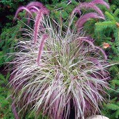 pennisetum setaceumcherri, garden plant, grass, garden idea, cherri sparkler, cherries, flower, sparklers, pennisetum cherri