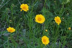 Coreopsis - Native Indiana flower