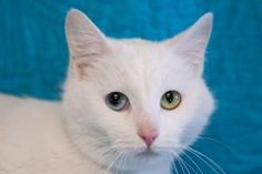 Zora is a lovely 2-year-old with a pure white coat and one blue eye, one yellow. She came to us as a stray with her sister, Navi, and theyre such nice cats, we can see them making their adopters very happy. Ask to meet these girls when you visit the Dearborn Animal Shelter!