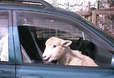 WEIRD Driving laws: 'In Montana it is illegal to leave a sheep unescorted in the front of a vehicle.' True or false? Click to find out.