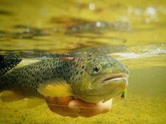 Underwater picture of a trout