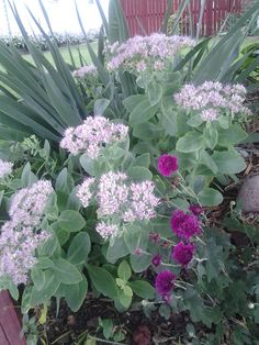 "September shade flowers - Sedum ""Briliant"" and purple Asters."