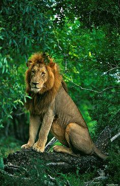 Male lion sitting in a tree