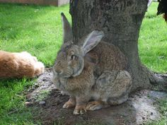 duitse reus konijnen   grootste konijnen ras ter wereld!!!!!!    look at his size!!!!!!
