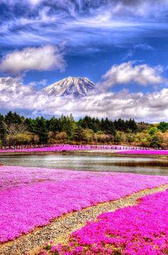 Fuji Shibazakura Festival - Moss Phlox and Mount Fuji , Lake Motosu, Yamanashi, Japan