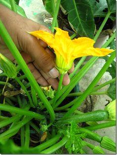 zucchini male flower