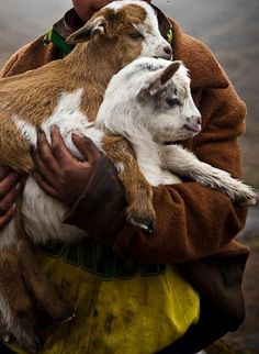 baby goats / peru