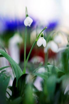 snowdrop days | chel