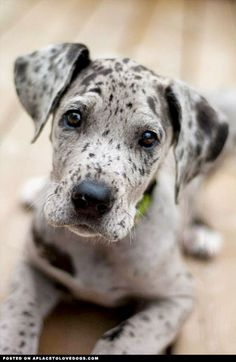 That face is why I will probably be the crazy dog lady. Great Dane Puppy - A Place to Love Dogs