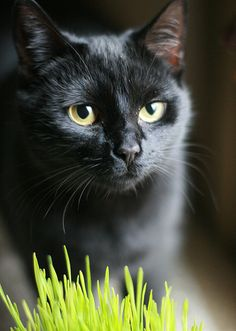 All-Black Cats   ...........click here to find out more     http://googydog.com