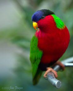 Collared #Lory #parakeet