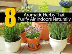 Eight Aromatic Herbs That Purify Air Indoors Naturally: Rosemary, Lavender (Lavandula spica L.), Basil (Ocimum basilicum L.), Mint (Mentha spicatta L.), Jasmine (Jasminum officinale L.), Geranium, Coffee plant, Woodbine a.k.a. European honeysuckle or Common honeysuckle (Lonicera periclymenum L.).