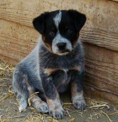 Australian Cattle Dog (Blue Heeler) Puppy - the dog my boyfriend said he wants. Did some research on them and watched videos on them, I swear they are the smartest dog EVER. :)