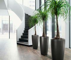 Beautiful Ponytail Palms