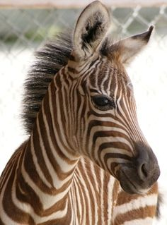 Grant's Zebra baby. (It's normal for baby zebras to have brown stripes, they begin to turn black between 9 and 18 months)