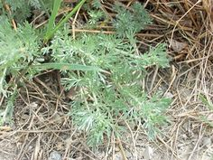 Wild Harvesting - Wormwood | Berry Blue Toes
