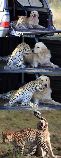 """Leopard 'Salati' snuggles up beside golden retriever 'Tommy' in the back of a 4×4 at the Glen Afric Country Lodge on May 04, 2010 in Pretoria, South Africa. Salati the leopard turns the assumption that dogs love to chase cats on its head by running playfully after Tommy the golden retriever. Animal wrangler Richard Brooker, 23, hand-reared 10-month-old Salati and gives her and family pet dog Tommy their daily exercise together. He takes them out into his family's 750 hectare estate and lets them run amok, saying """"Wherever you see one the other is right behind"""". Rescued as an orphaned cub, Salati was donated by a local vet to the family-run country retreat, which helps to rehabilitate injured and needy animals. The Brookers' hard work and breeding programmes with elephants, lions, and giraffes has helped boost wildlife numbers in the area."""