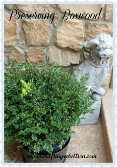 Instructions for preserving boxwood using glycerin, citric acid and dye. Gives ideas where to find the products in the comments too.