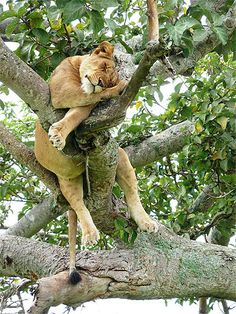 A lioness sleeping peacefully in a tree.  Queen Elizabeth National Park, Uganda.