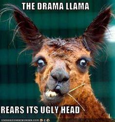 Mangy and hilarious looking llama