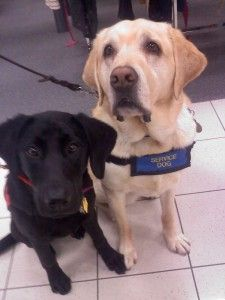 Kimber is an autism service dog in training and is learning the ropes from Gatsby a seasoned and devoted service dog.