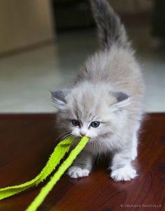 Determination! Cute kitten
