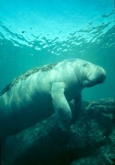 Take a virtual field trip with the manatees!