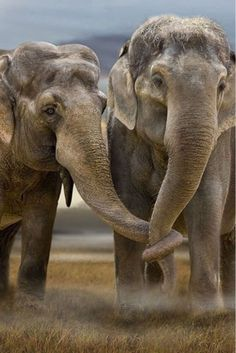 elephants, animals, heart, hold trunk, friendship, trunks, families, beautiful creatures, holding hands