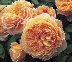 Crown Princess Margareta - David Austin Roses