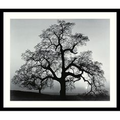 "LAB BC -- Amanti Art Oak Tree, Sunset City, California, 1962 by Ansel Adams, Framed Print Art - 23.04"" x 27.04"" -- -- Ships by 10/10"