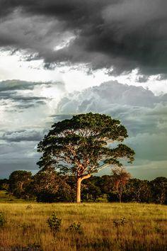 Cerrado Tree