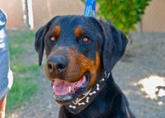 """PLEASE CHECK OUT TEDDY AT """"ROTTS OF FRIENDS ANIMAL RESCUE"""" HE IS PUREBRED DOBERMAN, LOOKING JUST FABULOUS WITH HIS YEARS AND TAIL. HE WOULD LOVE TO PLAY ALL KINDS OF SPORTS WITH HIS FOREVER FAMILY AND SHOWER THEM WITH UNCONDITIONAL LOVE."""