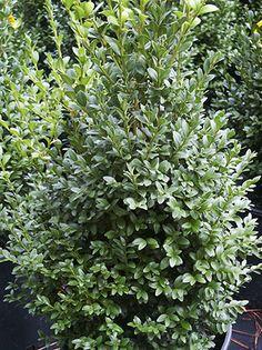 Evergreen shrubs on pinterest evergreen shrubs branches for Low maintenance foundation shrubs