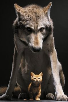 bro and sis - wolf-and-cat.jpg 320×480 pixels