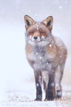 ♥ i do love how Foxes can look so happy