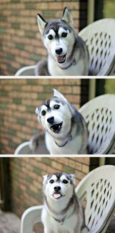 Husky Is Very Happy