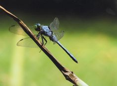 dragon fly picture, taken july 4th 2011
