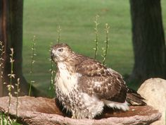 """Jo Ellen Eldon of Rochester Hills submitted two photos of a hawk enjoying the bird bath in her yard. She writes: """"The constant drone of cars and the chink of golfers teeing off ... I hear the birds chirp and insects buzz. Then, just outside my front door, I hear a splash and spy this hawk taking an afternoon bath. I was able to creep up on him and from 5-feet away, snap off five photos."""""""