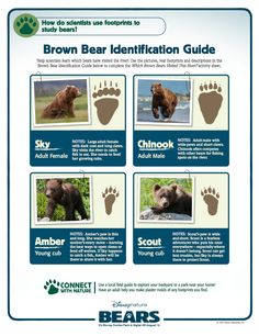 Brown Bear Identification Guide