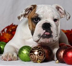 We wish you a wrinkly Christmas, and a snugly New Year!!! :) #cute #dogs #puppies #bulldog #English #pets #animals #sleeping #Christmas #ornaments #holidays #decorations #decor #beautiful