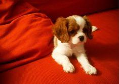 cutest puppi, spaniel puppi, dream dog, charl spaniel, cavali puppi