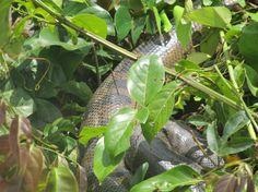 Anaconda spotted at Inkaterra Hacienda Concepcion