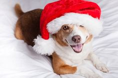 Our list of Holiday Pet Tips to keep you and your furry family safe and happy this festive season.  http://www.bluecrossanimalhospital.ca/pet-hazards/pet-tips-for-a-happy-holiday/