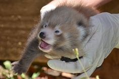 Auckland Zoo has welcomed the birth of Nepalese red panda twins; two very valuable additions to the international breeding programme for this threatened species whose population continues to decline in the wild. http://www.aucklandzoo.co.nz/zoo-news/news/zoo-panda-births-boost-international-programme.aspx red pandas, panda twin, little red, anim planet, african anim, auckland zoo, zoos, births, twins